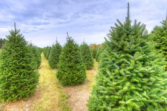 an evergreen tree farm